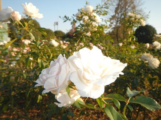 バラ公園 マジョリカ DSCN1946