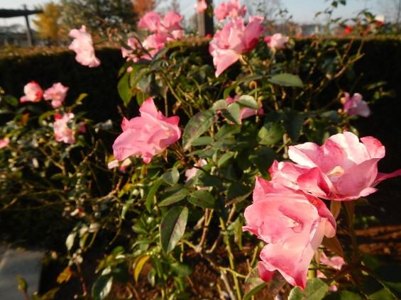 バラ公園 花霞 DSCN1966