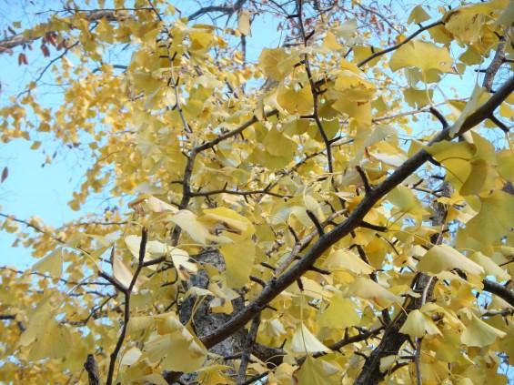 イチョウの落ち葉の綺麗な絨毯 DSCN2471