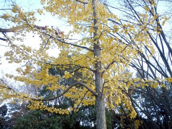 イチョウの落ち葉の綺麗な絨毯 DSCN2470