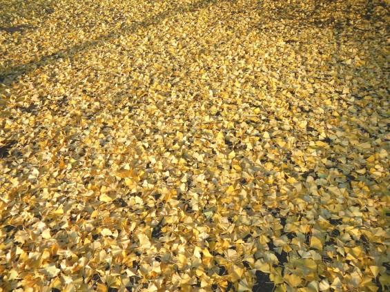 イチョウの落ち葉の綺麗な絨毯 DSCN2468