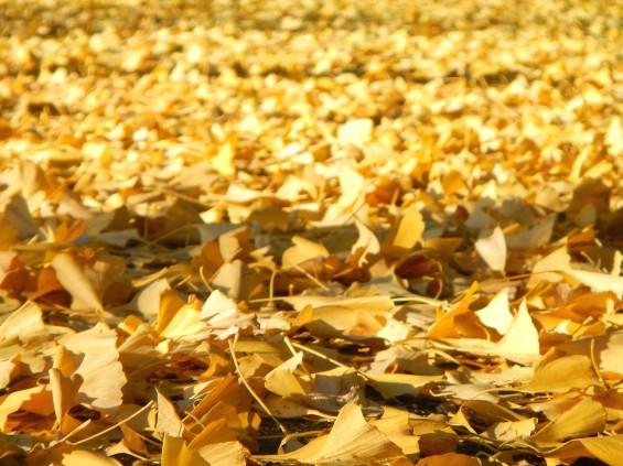 イチョウの落ち葉の綺麗な絨毯 DSCN2464
