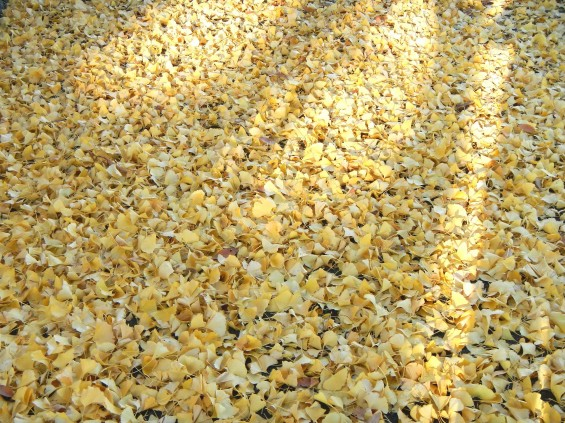 イチョウの落ち葉の綺麗な絨毯 DSCN2451
