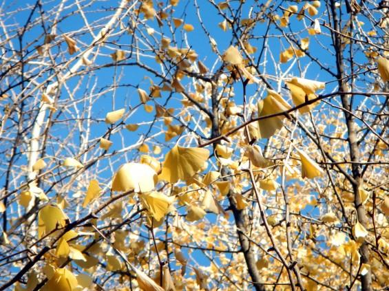 イチョウの落ち葉の綺麗な絨毯 DSCN2459