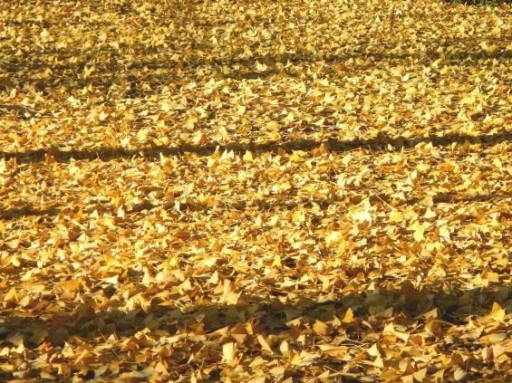 イチョウの落ち葉の綺麗な絨毯 DSCN2460