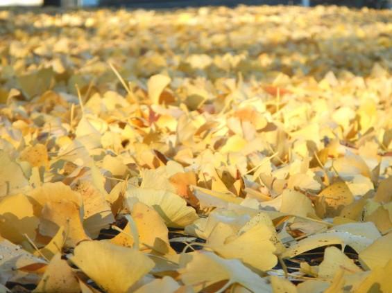 イチョウの落ち葉の綺麗な絨毯 DSCN2456