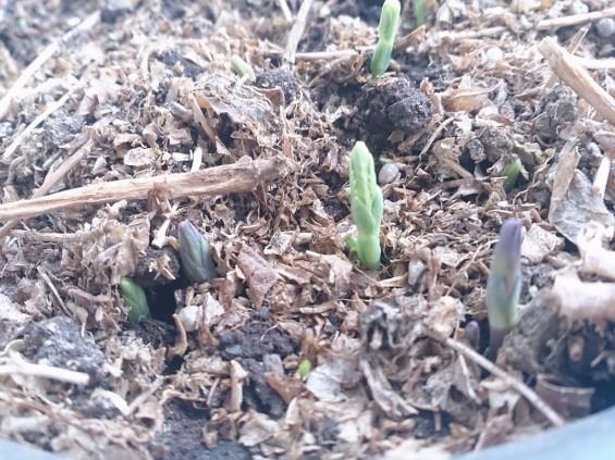 桔梗の芽が出てきました。しかもいっぱい。20140319 DSC_1770