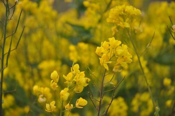 一面の黄色いじゅうたん?菜の花でいっぱいの埼玉県吉見町荒川の土手DSC_0670