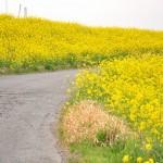 一面の黄色いじゅうたん?菜の花でいっぱいの埼玉県吉見町荒川の土手DSC_0677