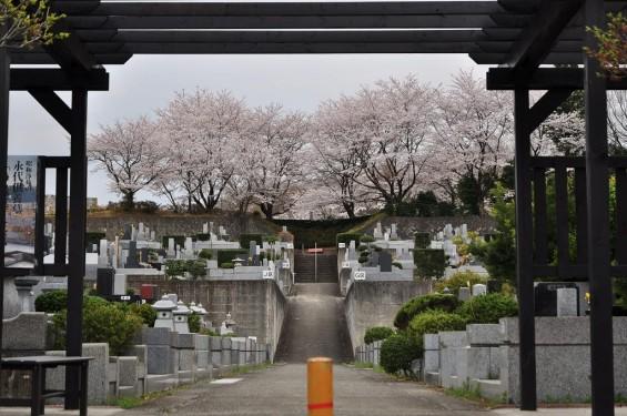 20140402 埼玉県東松山市 森林公園昭和浄苑 桜満開DSC_0643