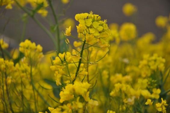 一面の黄色いじゅうたん?菜の花でいっぱいの埼玉県吉見町荒川の土手DSC_0669
