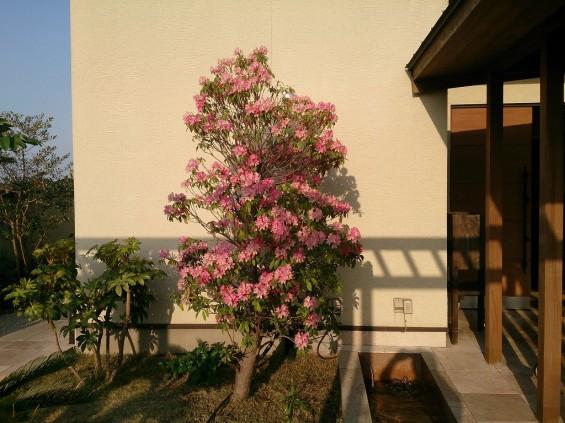 20140427 桶川霊園 石南花 石楠花 シャクナゲDSC_1821