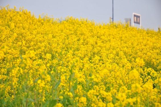一面の黄色いじゅうたん?菜の花でいっぱいの埼玉県吉見町荒川の土手DSC_0661