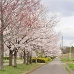 20140404 埼玉県さきたま緑道の桜DSC_0336