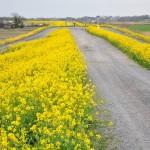 一面の黄色いじゅうたん?菜の花でいっぱいの埼玉県吉見町荒川の土手DSC_0656