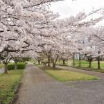 20140404 埼玉県さきたま緑道の桜DSC_0310