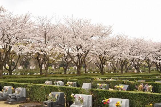 20140402 さいたま市見沼区 さいたま市営霊園の桜が満開DSC_0427