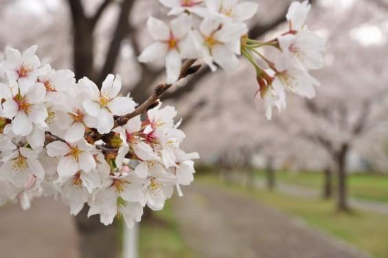 20140404 埼玉県さきたま緑道の桜DSC_0318