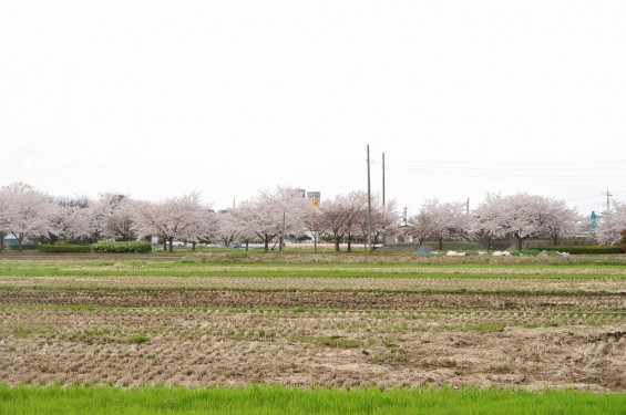 20140404 埼玉県さきたま緑道の桜DSC_0334