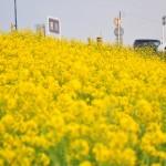 一面の黄色いじゅうたん?菜の花でいっぱいの埼玉県吉見町荒川の土手DSC_0663