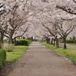 20140404 埼玉県さきたま緑道の桜DSC_0316