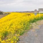 一面の黄色いじゅうたん?菜の花でいっぱいの埼玉県吉見町荒川の土手DSC_0664