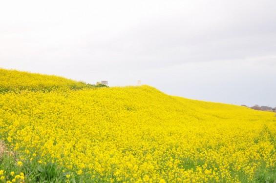 一面の黄色いじゅうたん?菜の花でいっぱいの埼玉県吉見町荒川の土手DSC_0676