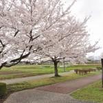 20140404 埼玉県さきたま緑道の桜DSC_0311