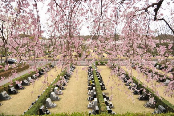 20140402 さいたま市見沼区 さいたま市営霊園の桜が満開DSC_0503