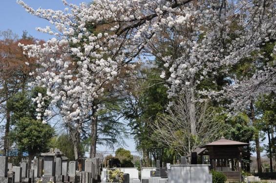 20140401 埼玉県上尾市中分 東栄寺 桜満開ですDSC_0025
