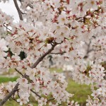 20140404 埼玉県さきたま緑道の桜DSC_0319