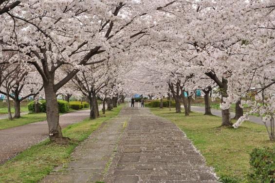 20140404 埼玉県さきたま緑道の桜DSC_0314