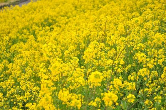 一面の黄色いじゅうたん?菜の花でいっぱいの埼玉県吉見町荒川の土手DSC_0657