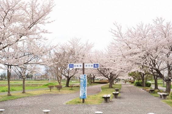 20140404 埼玉県さきたま緑道の桜DSC_0331