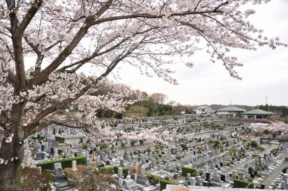 20140402 埼玉県東松山市 森林公園昭和浄苑 桜満開DSC_0604