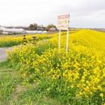 一面の黄色いじゅうたん?菜の花でいっぱいの埼玉県吉見町荒川の土手DSC_0668