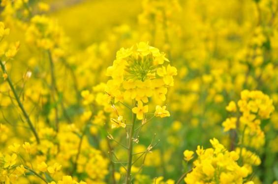 一面の黄色いじゅうたん?菜の花でいっぱいの埼玉県吉見町荒川の土手DSC_0658