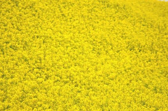 一面の黄色いじゅうたん?菜の花でいっぱいの埼玉県吉見町荒川の土手DSC_0680