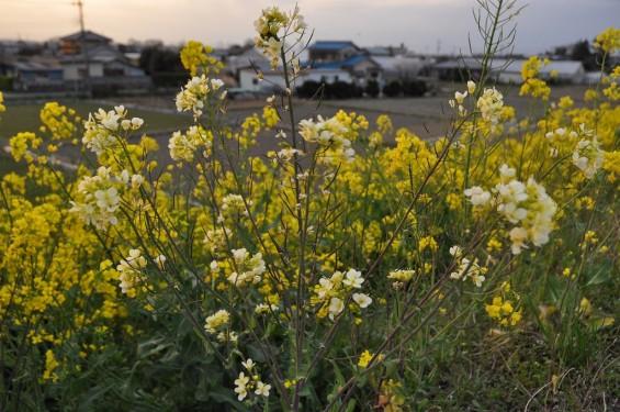 一面の黄色いじゅうたん?菜の花でいっぱいの埼玉県吉見町荒川の土手DSC_0671