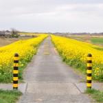 一面の黄色いじゅうたん?菜の花でいっぱいの埼玉県吉見町荒川の土手DSC_0667