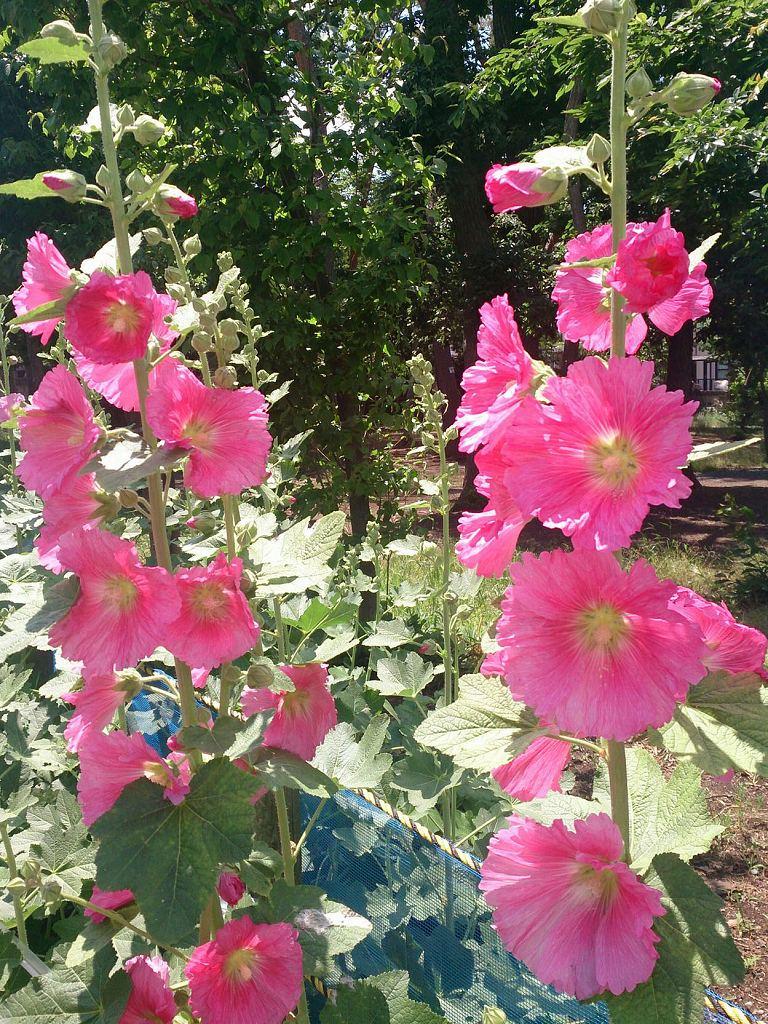 ・葵(タチアオイ、梅雨葵)の季節到来。家紋の葵との関係は? | 霊園とお墓のはなし・葵(タチアオイ、梅雨葵)の季節到来。家紋の葵との関係は?