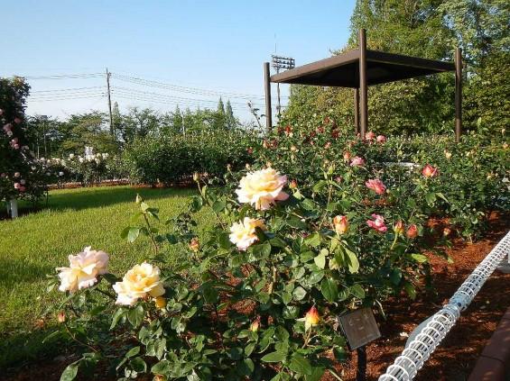 埼玉県のバラ園 バラまつり 伊奈町制施行記念公園 DSCN4311
