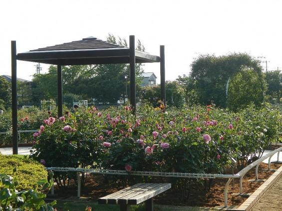 埼玉県のバラ園 バラまつり 伊奈町制施行記念公園 DSCN4294