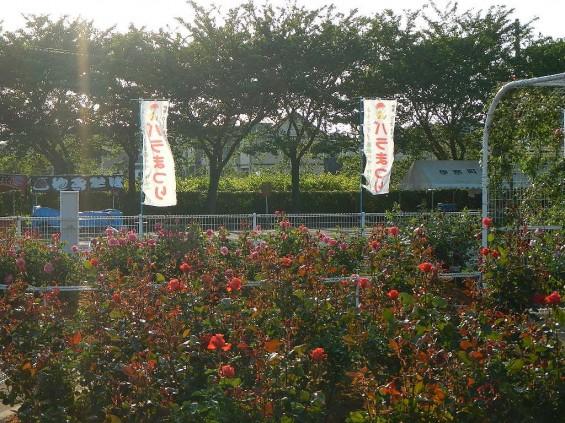 埼玉県のバラ園 バラまつり 伊奈町制施行記念公園 DSCN4388