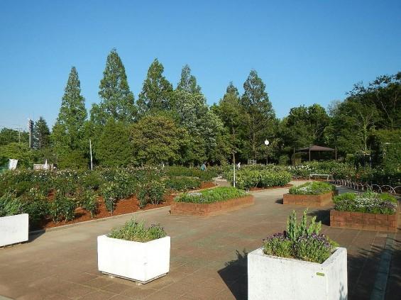 埼玉県のバラ園 バラまつり 伊奈町制施行記念公園 DSCN4258