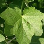 20140522 葵 タチアオイ 梅雨葵 コケコッコ花 葉 テントウムシ 1400731449668
