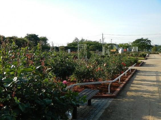 埼玉県のバラ園 バラまつり 伊奈町制施行記念公園 DSCN4337