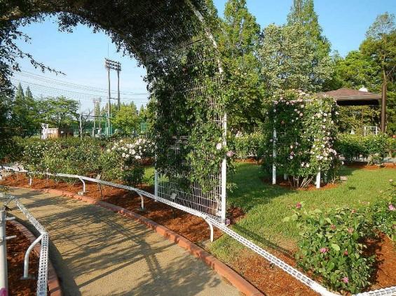 埼玉県のバラ園 バラまつり 伊奈町制施行記念公園 DSCN4324