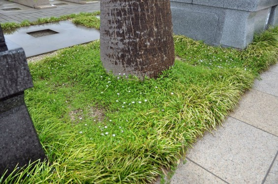 埼玉県 桶川霊園 雨の日の花DSC_0101