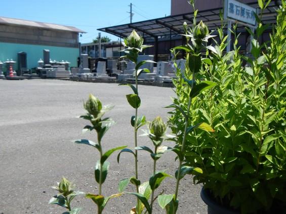 大塚 墓石展示場の植物 桔梗ききょう と 紅花ベニバナDSCN4469